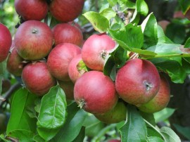 'Roter Trierer Weinapfel' eignet sich bestens für die Herstellung von Saft und Apfelwein