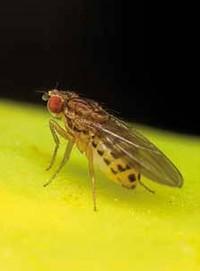 Lästige Essigmücken