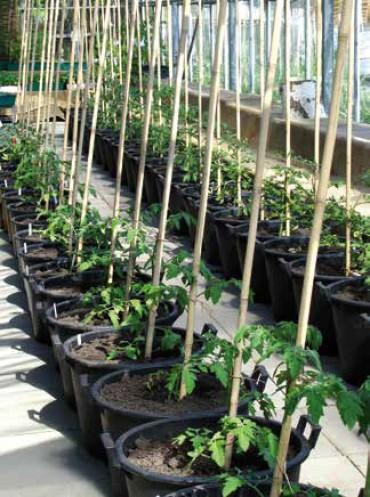 Frisch gepflanzte Tomaten