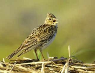 Vogel des Jahres 2019: Feldlerche