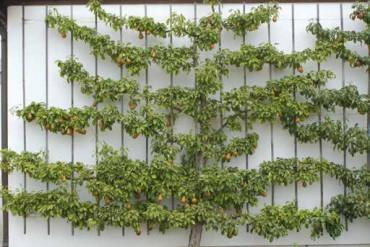 'Bosc Flaschenbirne' als Spalier an einer Südwand: Birnen mögen es warm