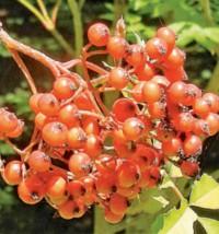 Die aus Westchina stammende zierliche Eberesche Sorbus vilmorinii