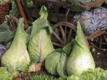 Filderspitzkraut: Mehr als Sauerkraut