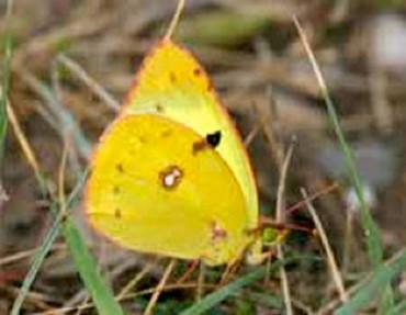 Schmetterling des Jahres 2017: Goldene Acht