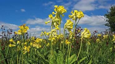 Blume des Jahrs: Wiesen-Schlüsselblume