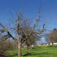 Naturgemäßer Schnitt von Obsthochstämmen