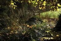 Das ledrige Laub der Magnolien