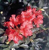 Rhododendron und Azaleen im Garten