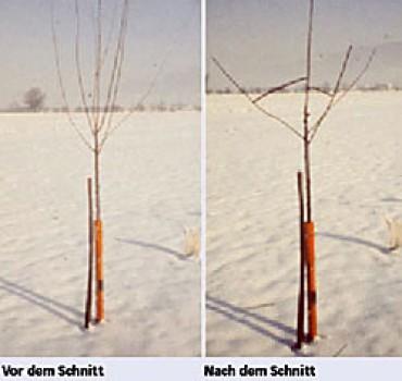 Obstbaum Schneiden vgid gartenbauvereine obstbaum winterschnitt