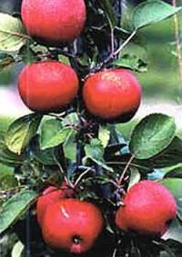 Beurteilung von Apfel-Herbstsorten und deren Mutanten