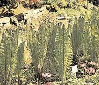 Relikte aus Urzeiten: Garten-Farne
