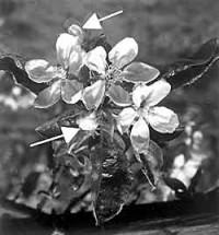 Blütenfrost: Ende aller Herlichkeit?