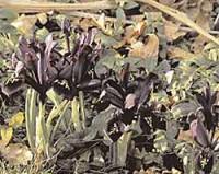 Die nobelsten Frühlingsblumen: Iris ohne Bärte