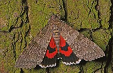 Schmetterling des Jahres: Rotes Ordensband