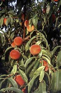 Pfirsiche im Garten: Sehr bekannte Sorte