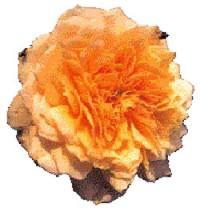 Garten und Landschaft: Robuste Rosen
