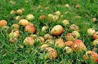 Flüssiges Gold: Apfessaft herstellen