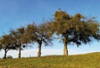 Massiver Mistelbefall an alten Apfelhochstämmen